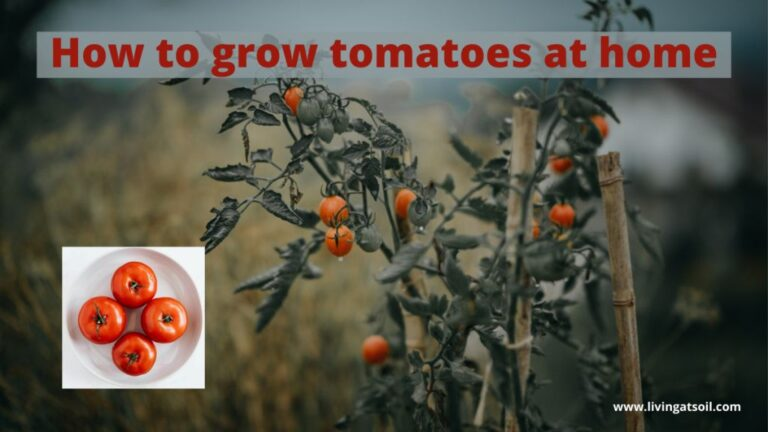 grow tomatoes at home without seeds