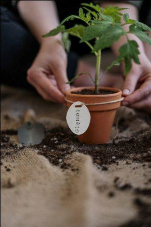grow tomato plant at home without seeds