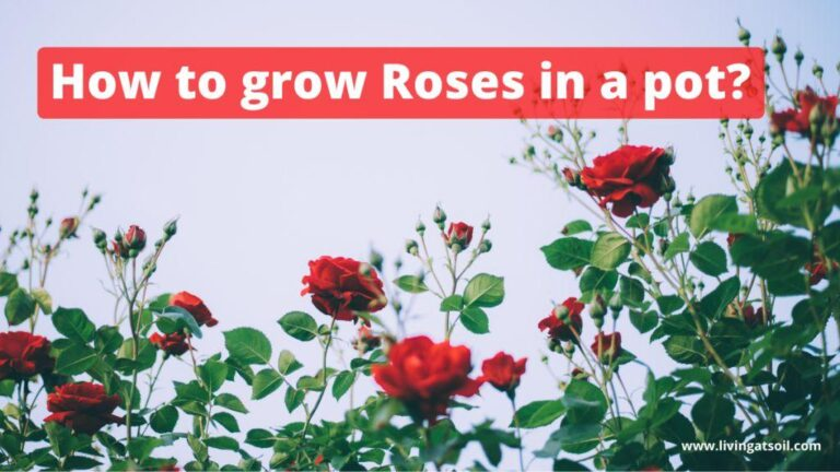 grow roses in pot