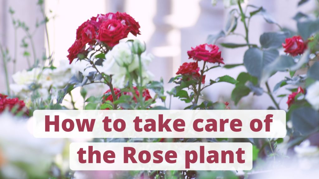 taking care of rose plant