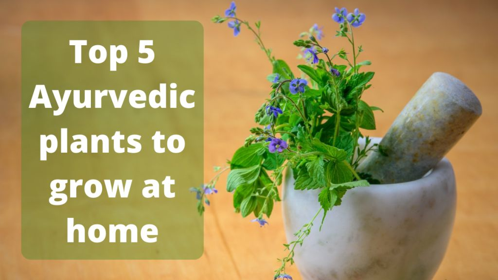 Ayurvedic plants to grow at home Ayurvedic herbs to grow at home