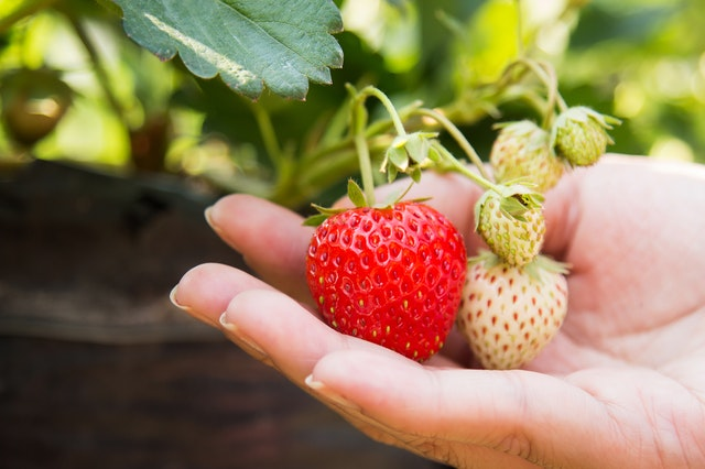 taking care of strawberry plants grow strawberry plant at home in pots
