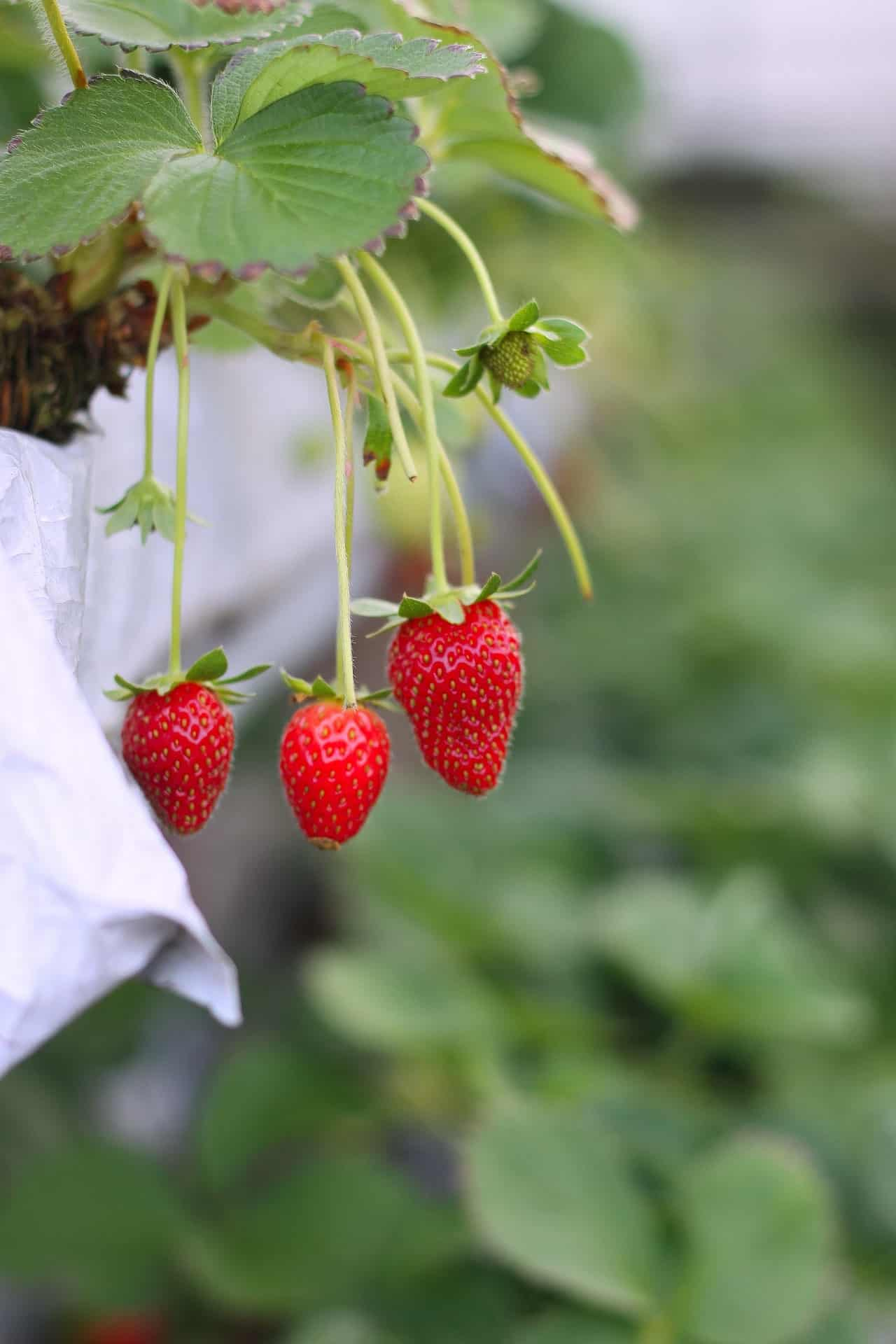 grow strawberry plant at home in pots taking care of strawberry plants