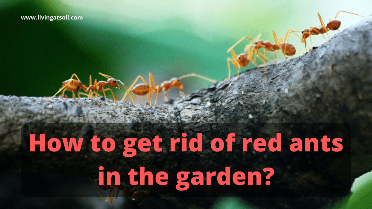Natural ways to get rid of red ants in garden
